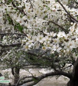 Iran lovely blossoms