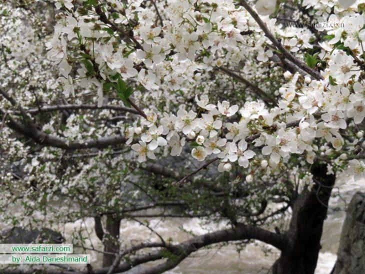 تصاویر زیبای شکوفه های بهاری تهران