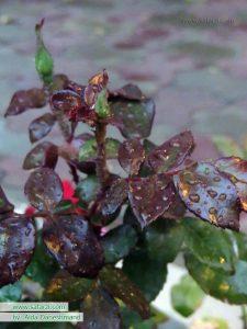 برگ های خیس پاییزی