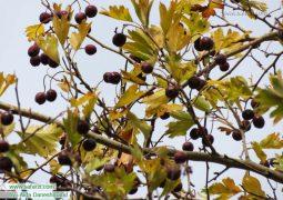 درختچه ی گیچ در صمغ آباد