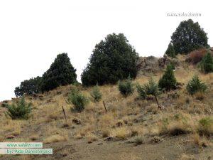 درختان اُرُس در صمغ آباد