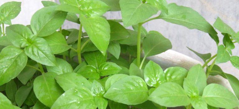 آموزش کاشت ریحان در گلدان (مراحل کاشت، نگهداری و برداشت)